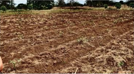 Conventional cassava field during a drought