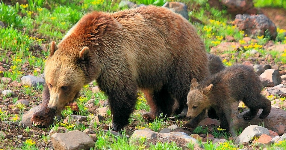In Blow to Trump and Win for Bears, Federal Appeals Court Upholds Endangered Species Protections for Yellowstone Grizzlies