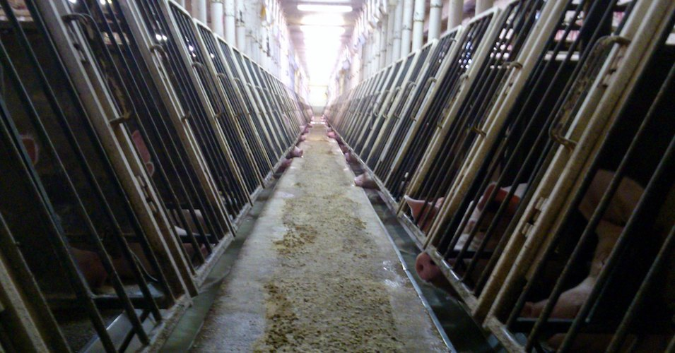 Swiss Voters to Decide on Whether to Allow Factory Farming to