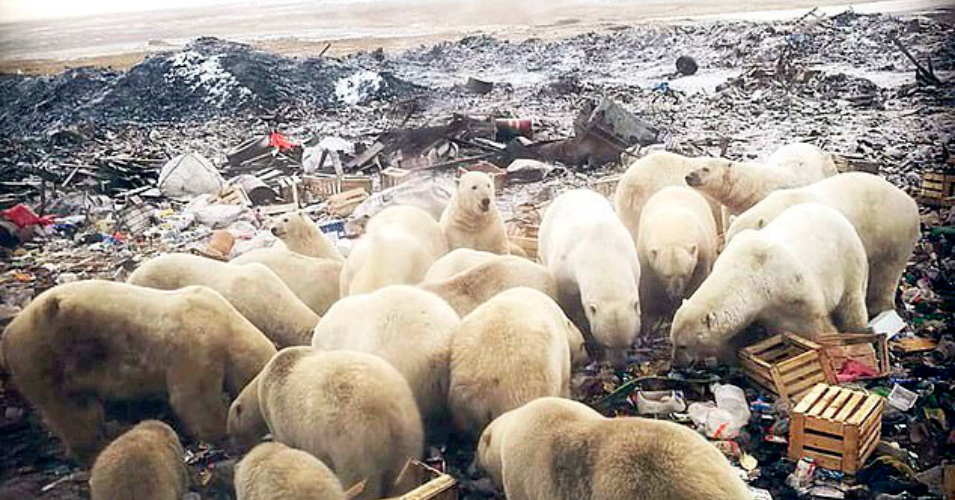 'Mass Invasion': Russian Islands in State of Emergency as Hotter Planet Drives Polar Bears to Hunger