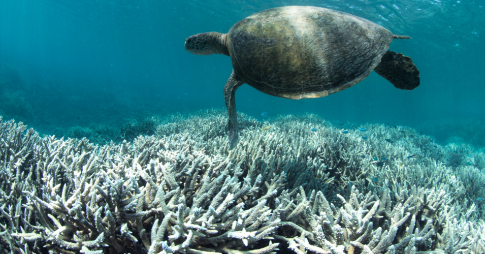 'Warning Bells Going Off' as NOAA Forecasts Entire Great Barrier Reef at Risk of Coral Bleaching and Death