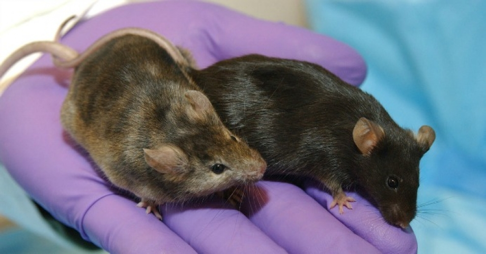 A GMO mouse with a gene related to hair growth removed from its genome, at left, next to a mouse with an unaltered genome. (Photo: Wikimedia Commons/cc)