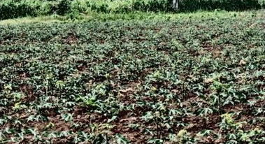 Regenerative cassava field during a drought.