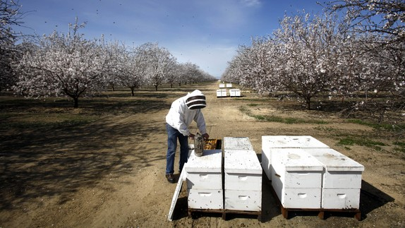 worker tends to hives by almond trees