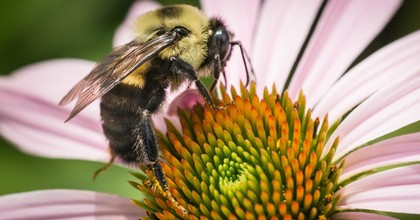 Echinacea and bee gather pollen in the People's Garden, Washington, D.C. (Photo: Smith Collection/Gado/Getty Images)