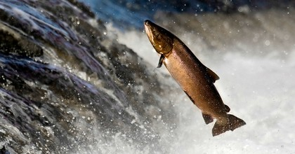 """A salmon leaping rapids in Alaska. """"I was dumbfounded,"""" said one EPA insider after Trump officials reversed the agency's opposition to the copper and gold mining project in Bristol Bay that scientists warn will devastate the salmon and the overall ecosystem. """"We were basically told we weren't going to examine anything. We were told to get out of the way and just make it happen."""" (Photo: arctic-tern/Getty Images)"""