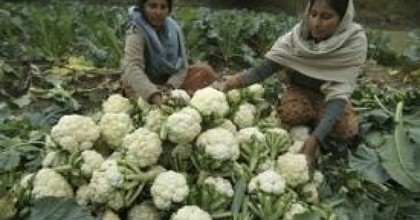 Farmers pack cauliflower to sell in the markets, on the outskirts of Jammu, India, Saturday, Dec. 12, 2009.
