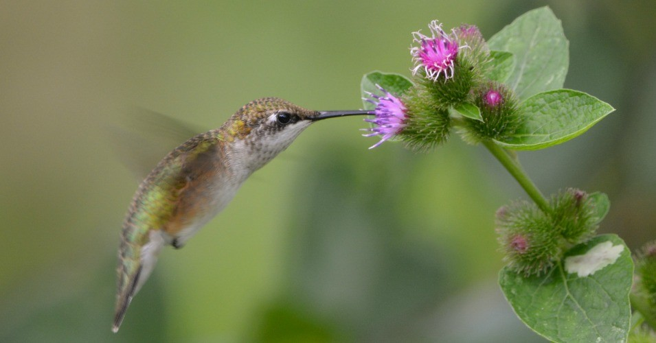 Hummingbirds are among the 88 species included in a new study which shows that the warming of the planet has thrown off the timing of relationships between predators and prey as well as plant-eaters and pollinators. (Photo: Jen Goellnitz/Flickr/cc)