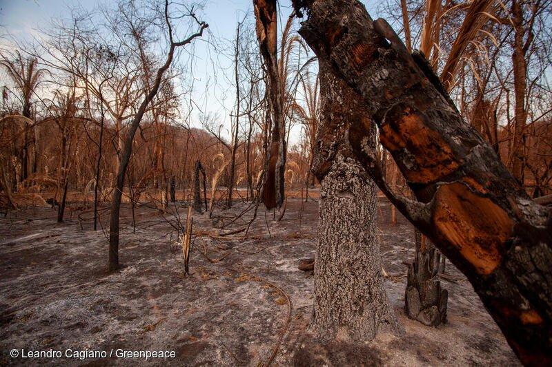 Fires have devastated a third of Pantanal wetlands, home of unique species such as the spotted jaguar and macaws. (Photo: Leandro Cagiano/Greenpeace)