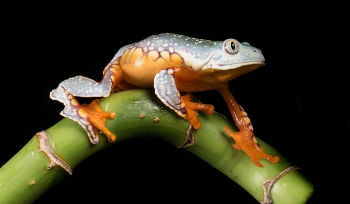 A fringed leaf frog (Cruziohyla craspedopus). (Photo: Sue Cro/flickr/cc)
