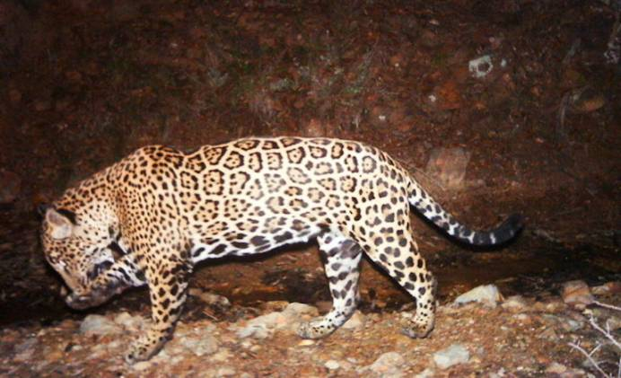 A camera trap image of a jaguar in Arizona, where three of the big cats have been documented in recent years. They are thought to have come into the U.S. from Mexico. Photo courtesy of U.S. Fish and Wildlife Service.