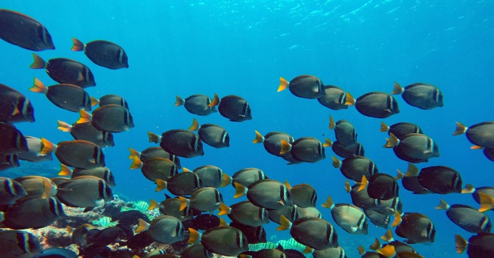 A school of Whitebar Surgeonfish swim in the Papahānaumokuākea Marine National Monument (Photo: Papahānaumokuākea Marine National Monument/flickr/cc)