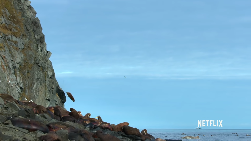 Walruses Are Jumping Off Cliffs to Their Deaths—Yes, Because of